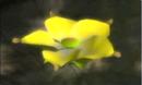 48goldencandypopbud.png