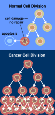 Normal cancer cell division from NIH