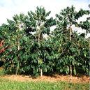 Hawaiian Coffee trees.jpg