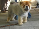 Cute ass chow chow at the seattle.rb bbq-8175.jpg