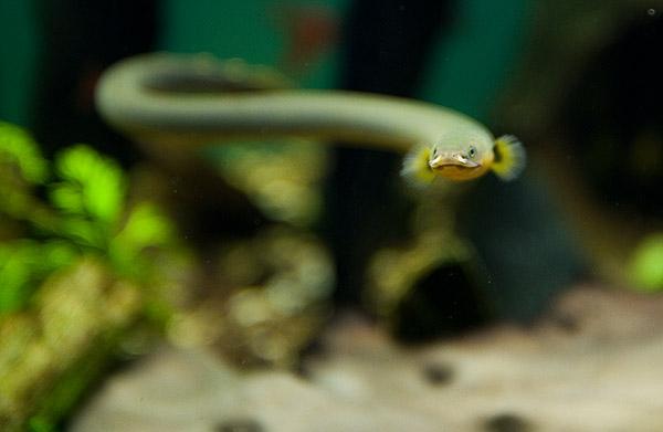 List of freshwater aquarium fish species - Fishapedia