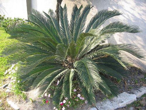Cycas Revoluta Care Cycas Revoluta Houseplant