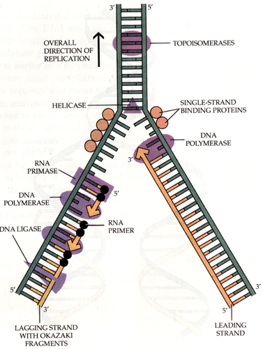 6 2 dna replication aecbio11 wiki for Explain how dna serves as its own template during replication
