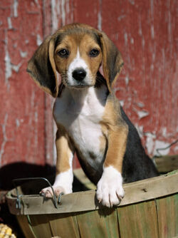 Beagle dog puppy