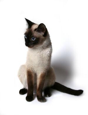 Siamese cat posing