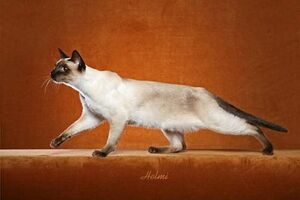 Traditional Siamese 2