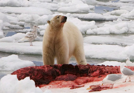 Hairless Polar Bear Polar bear without fur polar