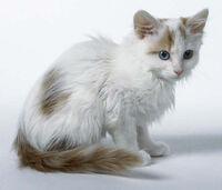 Turkish Van k