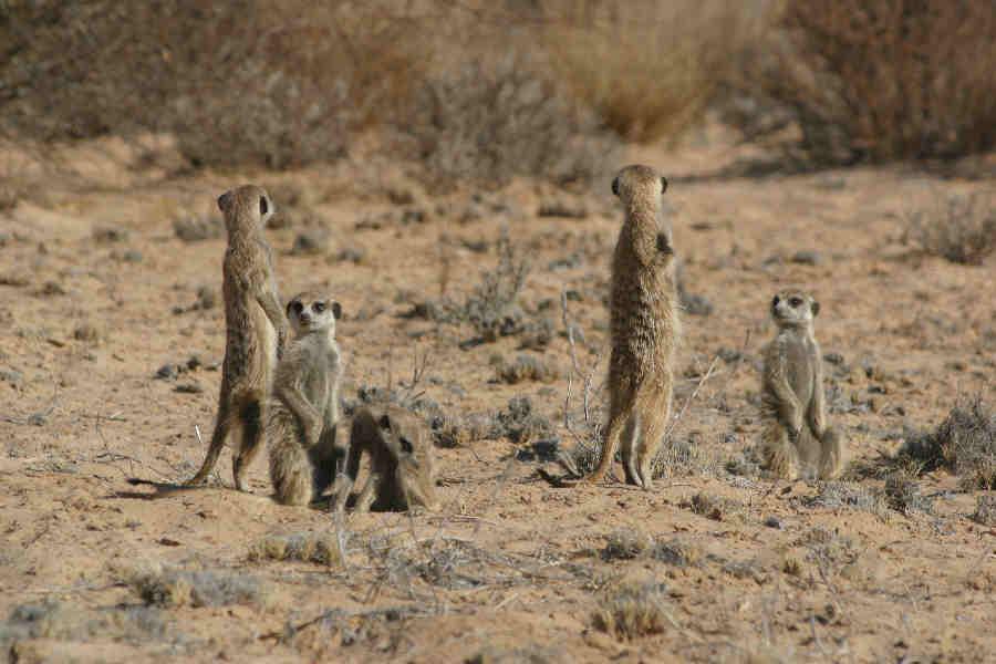 Leprechaun Mob - Meerkats Fanon Wiki