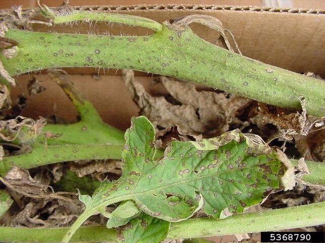 Hongo: Septoria 640px-Tomato_Septoria_Leaf_Spot_Stem