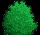 Shinko Pear Tree