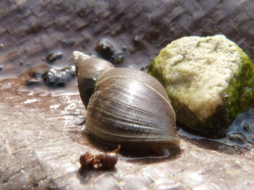 Great Pond Snail - British Wildlife Wiki