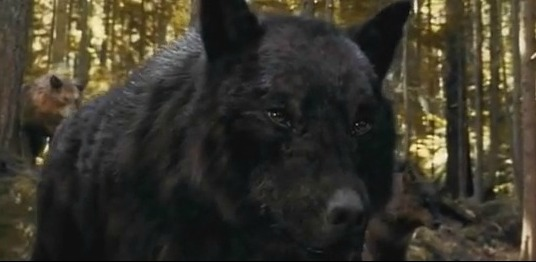 Jacob Black Werewolf Jacob Black as a Wolf Jacob