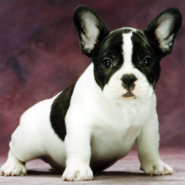 Companion Dogs - Dogs ...