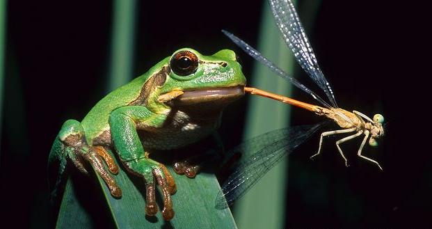 Frog - Reptipedia, the Reptile & Amphibian Wiki