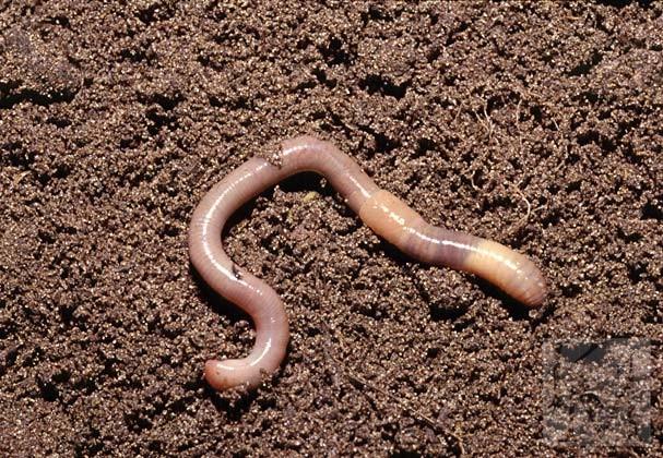 черви которые живут в человеке фото