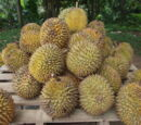 Growing Durians