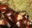 Growing Chestnuts