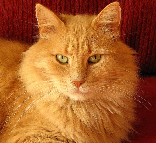 Cream Orange Cat With Green Eyes