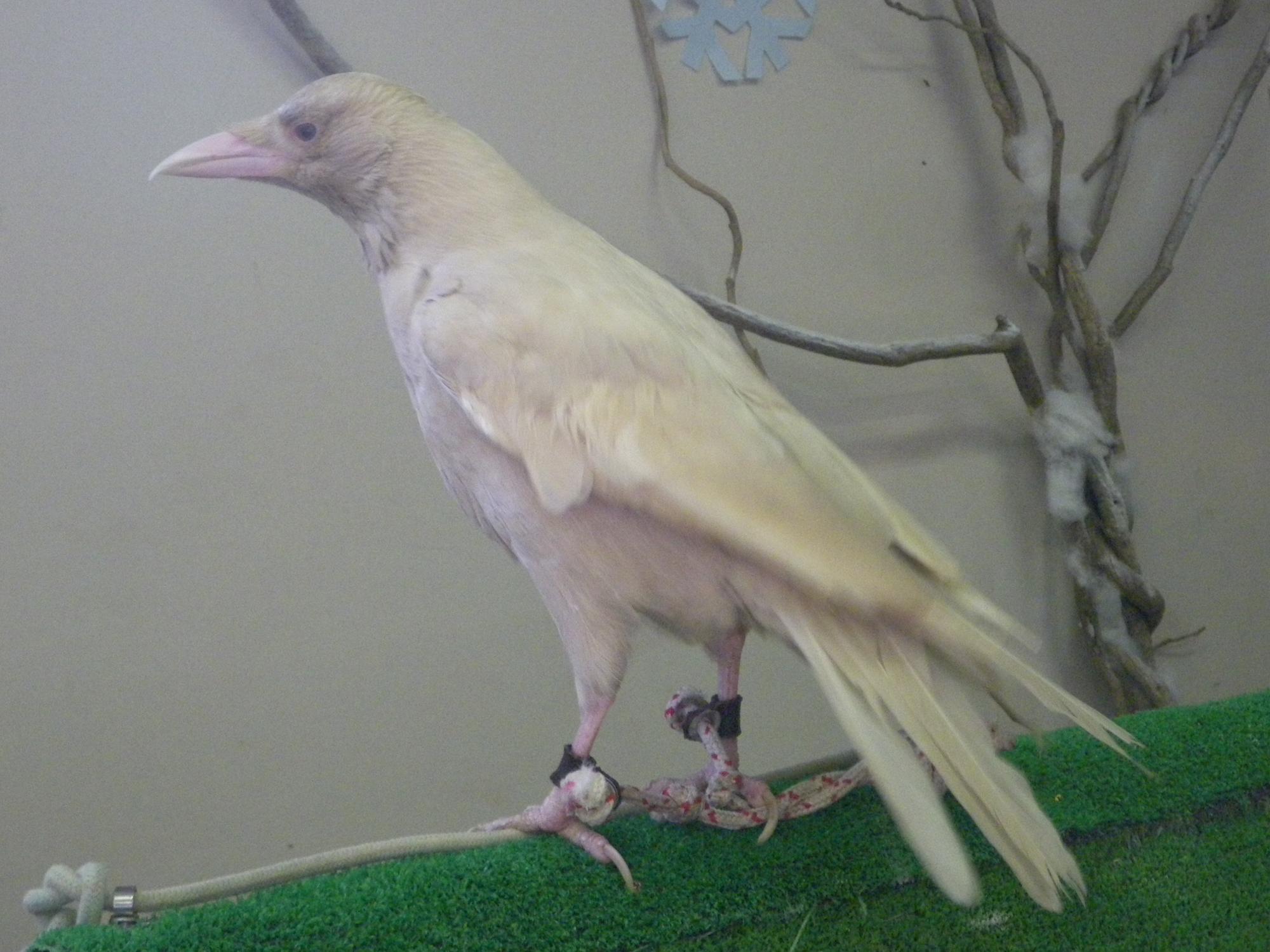 Albino crow - photo#37