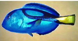pacific blue tang  Blue Tang AD