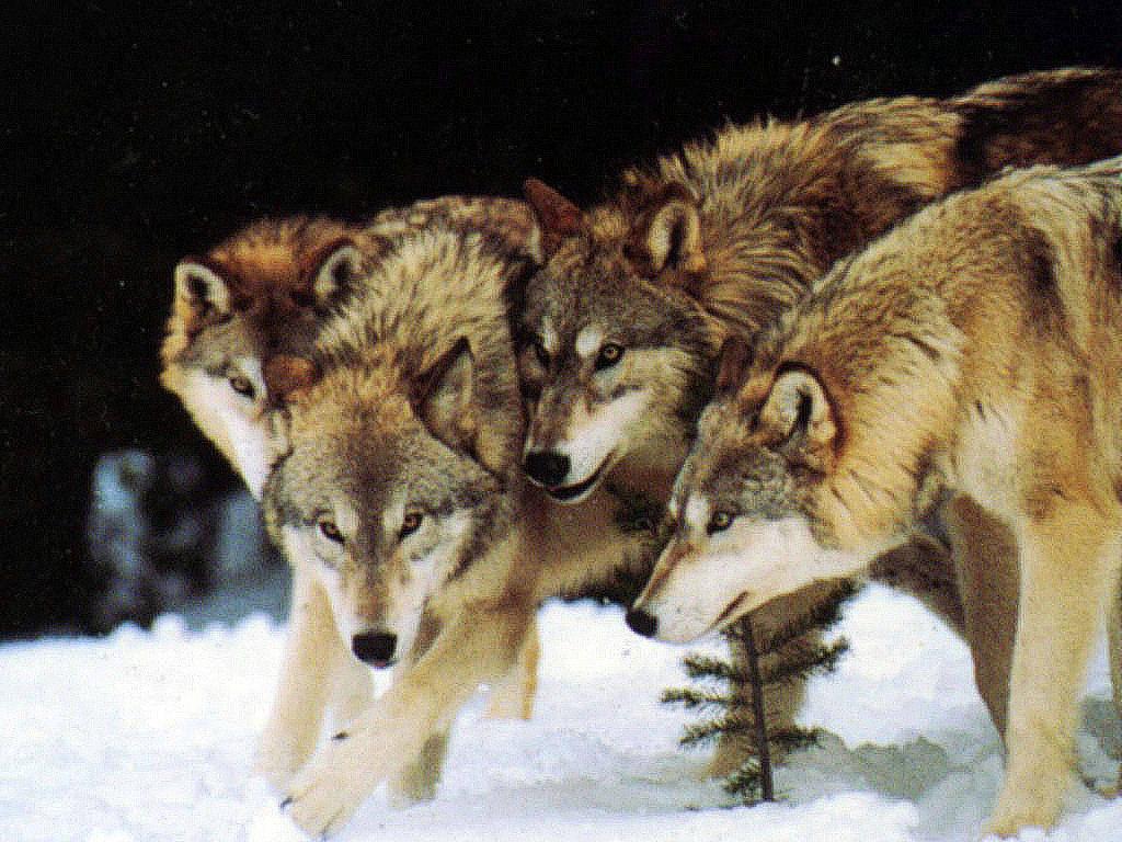 Pack-of-wolves-wolf-pack-wild-dogs-wallpaper.jpg
