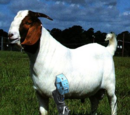 A 3 Legged Goat