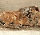 Cebra de Grevy