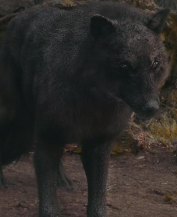 Jacob Black Wolf Form Breaking Dawn Part 2 Image - Sam s Eclipse ...