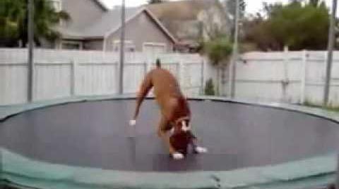 Verrückter Hund am Trampolin