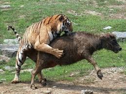 Archivo tigre wiki reino animalia - Leones apareamiento ...