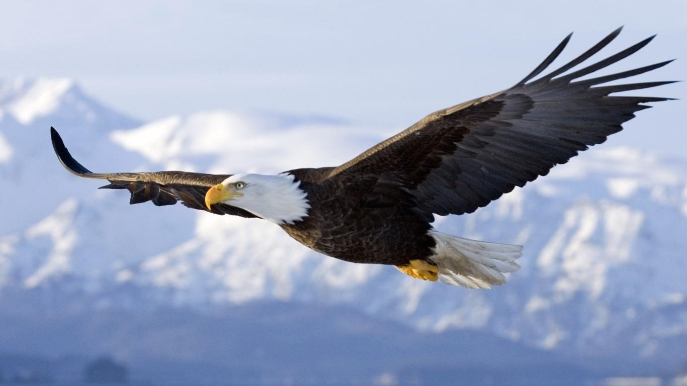 Aguila_calva_volando.jpg