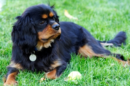 King Charles Spaniel Puppy Images Image Cavalier King Charles