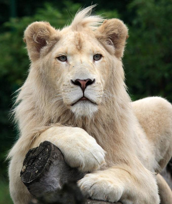 leon y tigre blanco - photo #39