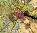 Epedanoidea