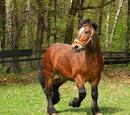 Holenderski koń zimnokrwisty