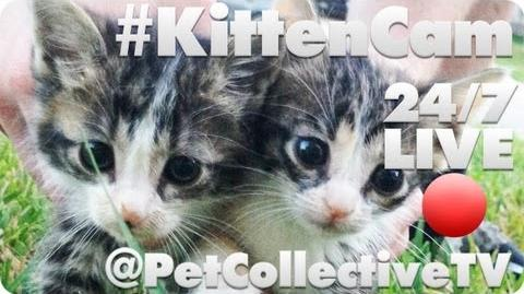KittenCam @PetCollectiveTV