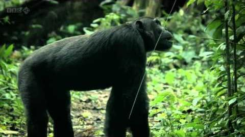 BBC Natural World - Chimps of the Lost Gorge HD