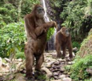 Gigantopithecus (PAS)