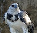 Águila Harpia