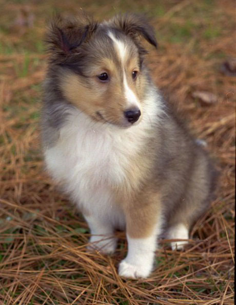 Image - Shetland-Sheepdog-Puppies-Gray.jpg - Camp Half-Blood Role ...