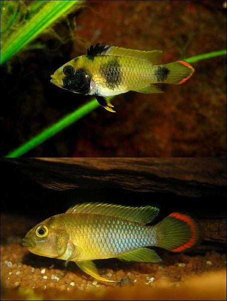 female panda dwarf cichlid (top) and male (bottom).
