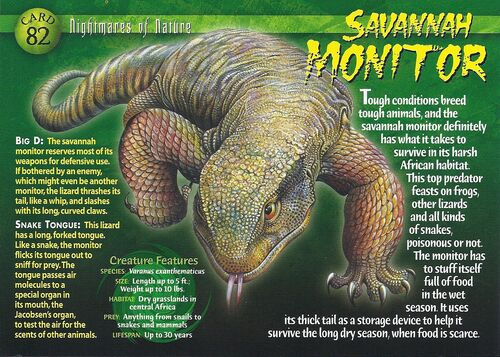 a description of savannah monitors as a medium sized monitor lizards Size: a full grown savannah monitor can reach a maximum length of 35-50 ft (105-155 cm) weight: they weigh between 11 to 13 lbs color: the base color of the body ranges from light yellow to grey there are light yellow marks on the head and circular dark-edged yellow spots on the back arranged in symmetrical rows the ventral portion and inside.