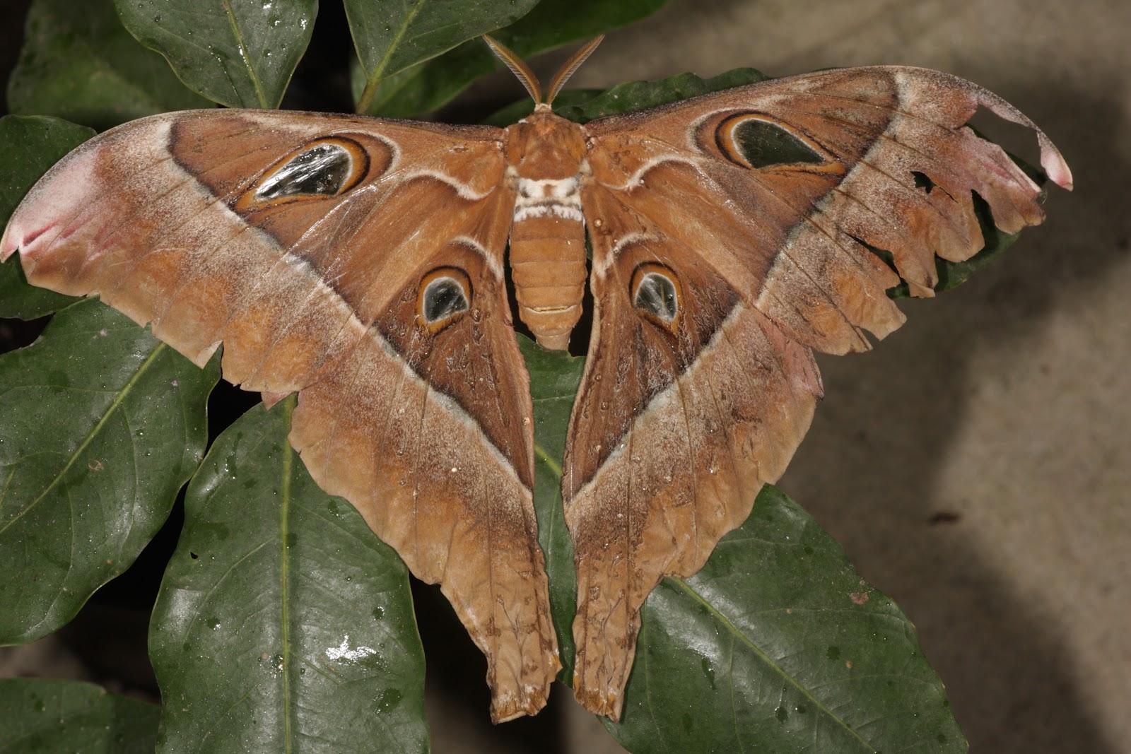 Moth that looks like a brown leaf