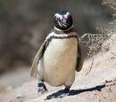 Magellanic Penguin/Gallery