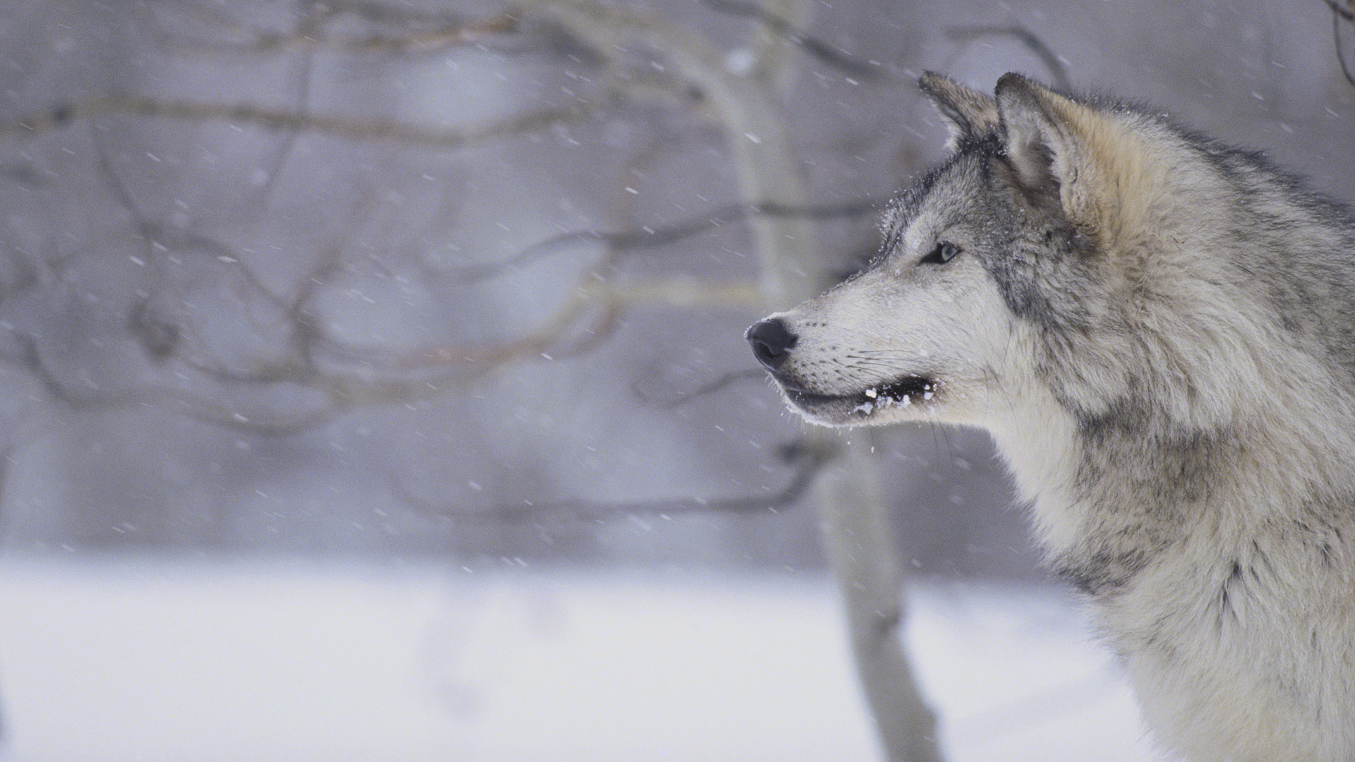 Gray wolf in snow tweet hd wallpapers animals photo gray wolf hd