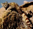 Andean Mountain Cat