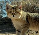 Gato del Desierto