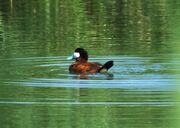 Ruddy Duck LWC 30.vii.2014