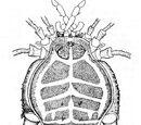 Assamiidae